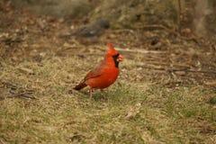 Roter Kardinal Lizenzfreie Stockfotos