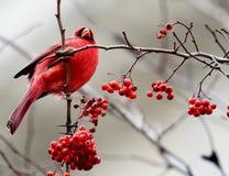 Roter Kardinal auf Zweig mit Beeren Stockbilder