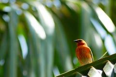 Roter Kardinal, der auf Palme sitzt lizenzfreie stockfotografie