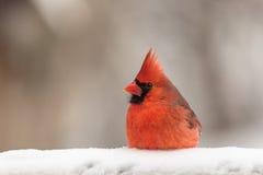 Roter Kardinal im Schnee Stockfotos