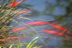 Roter Karpfen Stockbild