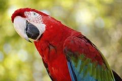 Roter Keilschwanzsittich-Papagei, bunter großer Vogel Stockbilder