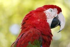 Roter Keilschwanzsittichpapagei, großer bunter Vogel Lizenzfreie Stockfotografie