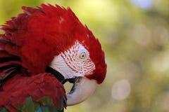 Roter Keilschwanzsittichpapagei, großer Vogel, bunt Lizenzfreie Stockfotografie