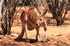 Roter Känguru Stockfotografie