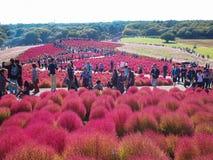 Roter Kochia am Hitachi-Küsten-Park stockfotos