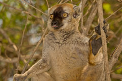 Roter konfrontierter BrownLemur Stockfotos