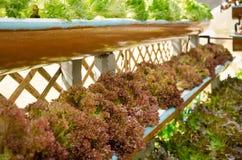 Roter Kopfsalat und grüner Kopfsalat an der Bearbeitungshydroponik bewirtschaften stockfoto