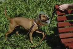 Roter kranker Hund, der einen elisabethanischen Kragen auf dem Kopf trägt stockfotografie