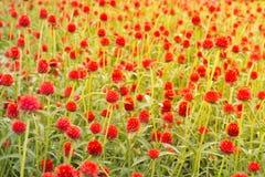 Roter Kugel-Amarant oder Junggeselle-Knopf Stockfotos
