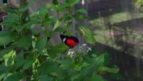 Roter Lacewingschmetterling, der auf den Blumen saugen Nektar flattert stock footage