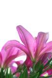 Roter Lilienabschluß der Blumen oben mit Unschärfe auf weißem Hintergrund Stockbilder