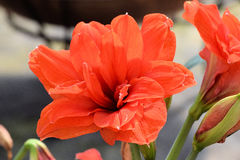 Roter Lilienzierpflanzenbau Stockfotos