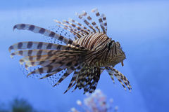 Roter Lionfish Lizenzfreie Stockfotos