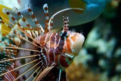 Roter Lionfish (Pterois volitans) Stockfotografie