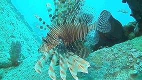 Roter Lionfish und Redmouth-Barsch stock video footage