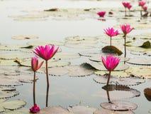 Roter Lotos im Teich bei Wapi Pathum Maha Sarakham, Thailand stockfoto
