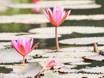 Roter Lotos im Teich bei Wapi Pathum Maha Sarakham, Thailand Stockfotografie