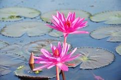 Roter Lotos am Morgen Nong Han Kumphawapi an am See des roten Lotos Lizenzfreies Stockfoto