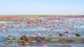 Roter Lotosfeldsee im udonthani von Thailand Lizenzfreies Stockfoto