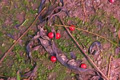 Roter Lucky Seed stockfotografie