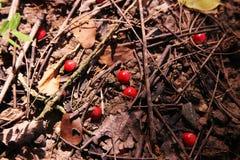 Roter Lucky Seed stockfotos