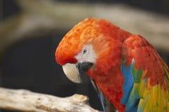 Roter Macaw Lizenzfreie Stockfotos