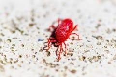 Roter Makroabschluß oben von Trombidium-holosericeum Milbe, die auf weißem Stein läuft stockbilder