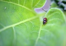 Roter Marienkäfer auf dem Blatt stockbilder
