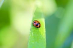 Roter Marienkäfer auf dem Grashalm bedeckt in den Tautropfen Stockfotografie