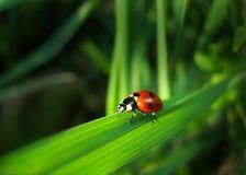 Roter Marienkäfer auf einem Gras Lizenzfreie Stockfotos