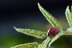 Roter Marienkäfer auf grünem Blatt, Marienkäfer kriecht auf Stamm der Anlage in s Lizenzfreies Stockfoto