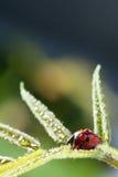 Roter Marienkäfer auf grünem Blatt, Marienkäfer kriecht auf Stamm der Anlage in s Lizenzfreies Stockbild