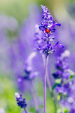 Roter Marienkäfer auf schönem purpurrotem und violettem Lavendel Stockfotografie