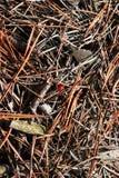 Roter Marienkäfer in den Waldnadeln Lizenzfreies Stockfoto