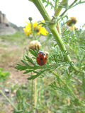 Roter Marienkäfer, der auf den Blumen-Knospen klettert Stockbilder