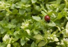 Roter Marienkäfer in einem Gras stockbild