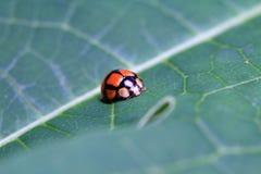 Roter Marienkäfer gelegt auf ein Blatt lizenzfreies stockfoto