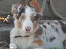Roter Merle Aussie Pup Lizenzfreie Stockfotos
