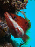 Roter mit einem Band versehener Wrasse (Pseudolabrus biserialis) Lizenzfreies Stockbild