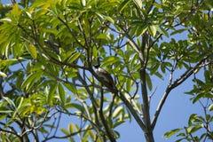 Roter mit Schnurrbart Bulbul-Vogel auf Baum Stockbilder