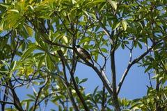 Roter mit Schnurrbart Bulbul-Vogel auf Baum Stockfotografie