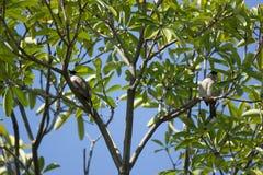 Roter mit Schnurrbart Bulbul-Vogel auf Baum Lizenzfreie Stockfotos