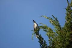 Roter mit Schnurrbart Bulbul-Vogel auf Baum Lizenzfreies Stockbild