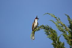 Roter mit Schnurrbart Bulbul-Vogel auf Baum Lizenzfreies Stockfoto