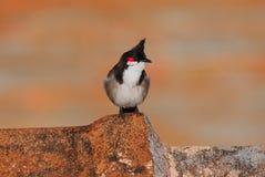 Roter mit Schnurrbart Bulbulvogel Lizenzfreies Stockfoto