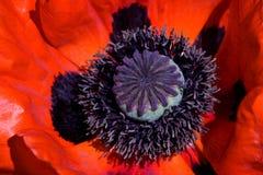 Roter Mohnblumeabschluß oben Stockfotos
