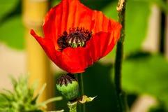 Roter Mohnblumenabschluß oben mit unscharfem Hintergrund stockfoto