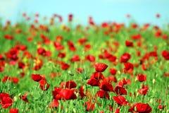 Roter Mohnblumenblumenfeldfrühling Stockfoto