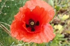 Roter Mohnblumenvordergrund Stockfoto